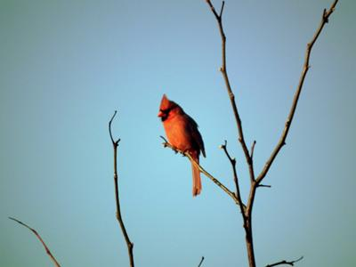 Early Morning Cardinal