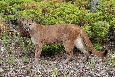 This is a Cougar - could this be what you saw?