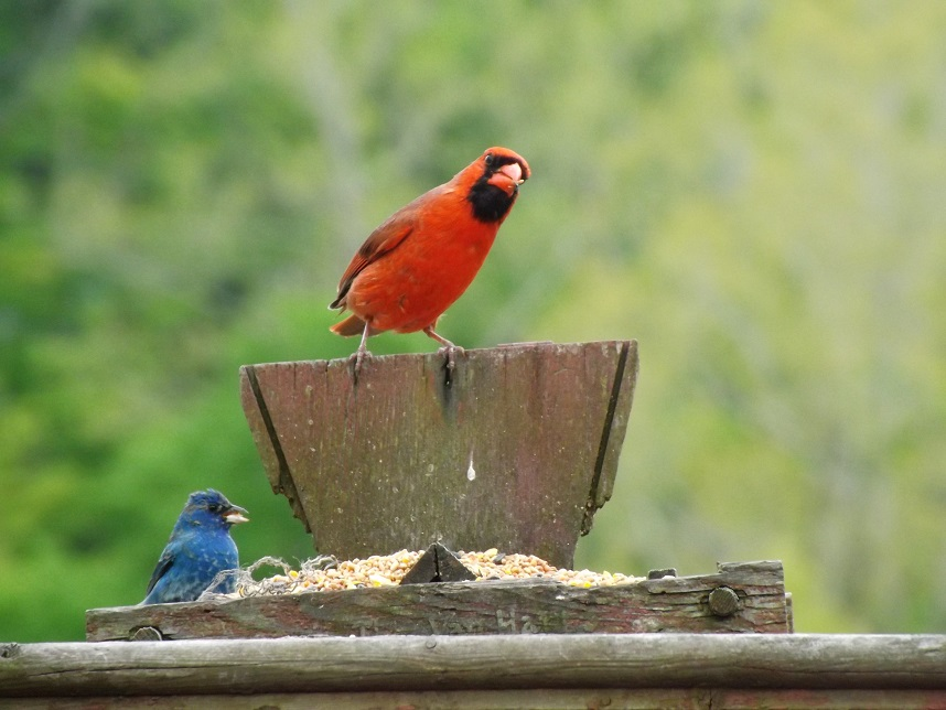 Cardinal and Indigo Bunting at bird feeder