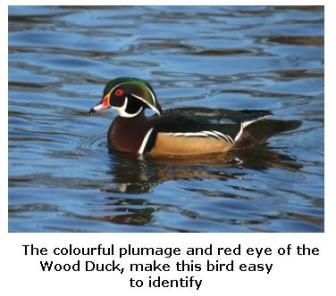 Male Wood Duck, Ontario
