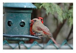 Female and male Cardinals at green bird feeder in a garden