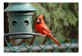Male red Cardinal at backyard bird feeder eating seeds