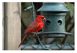 Male Cardinal at green bird feeder in a garden