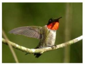 Male Ruby-throated hummingbird on a branch with wings outstretched