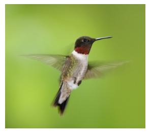 Male Ruby Throated hummingbird flying against a green background