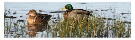 Jack Miner ducks