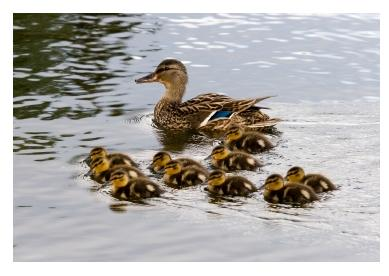 Mother Mallard Duck with ducklings on the water - avec des canetons