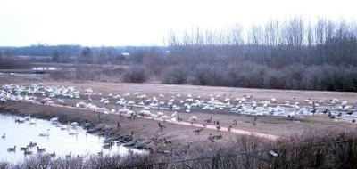 Tundra Swans resting & feeding