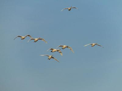 Flying Tundra Swans coming in to land - courtesy of Daniel S Bennett, St Thomas