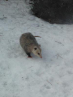 Possum in Mississauga