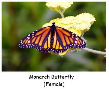 Female Monarch Butterfly on milkweed