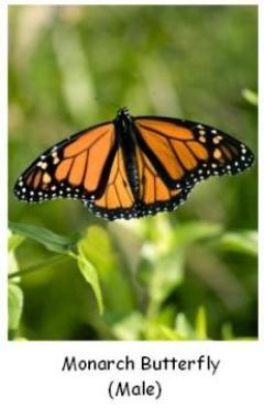 Male Monarch Butterfly showing black and orange colours