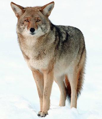 More Coyote encounters in Ontario