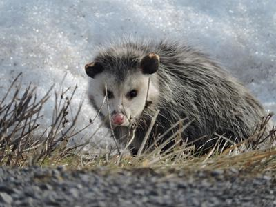 Scary Possum in Ontario during winter