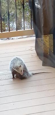 Opossum in Newmarket in Ontario