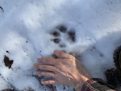 Winter wolf print in Ontario Canada