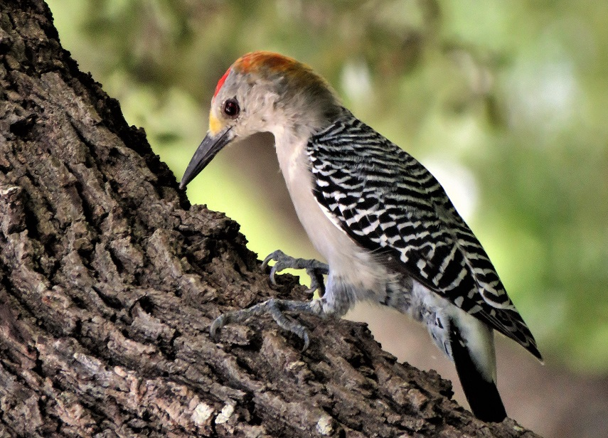 Northern Flicker feeding on fallen tree