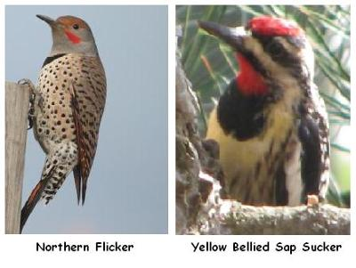 Flicker & Sapsucker