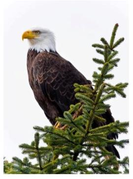 Bald Eagle in evergreen tree (stock photo from Dreamstime)