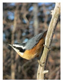 red breasted nuthatch standing on a branch
