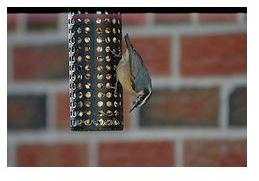 Ontario bird - Nuthatch at feeder