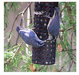 nuthatches at the birdfeeder in a backyard