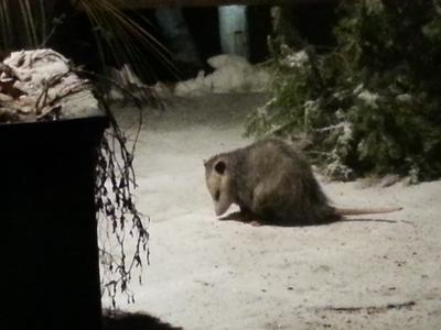 Possum in Toronto Ontario