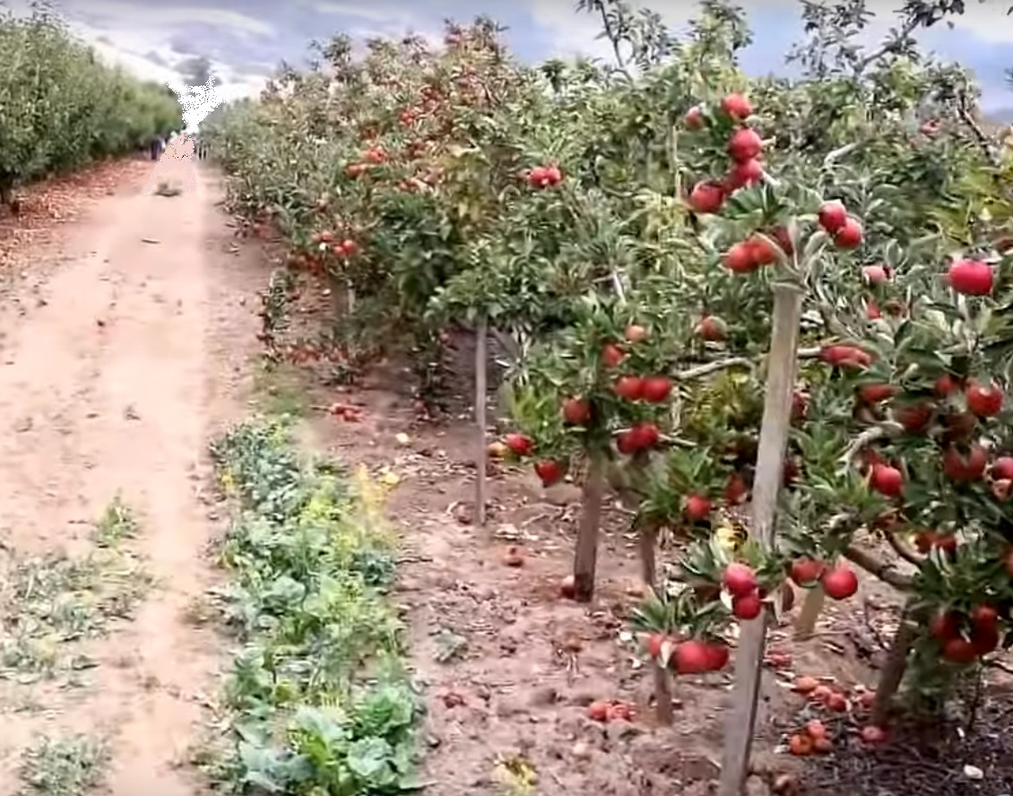 apple orchard and dusty road