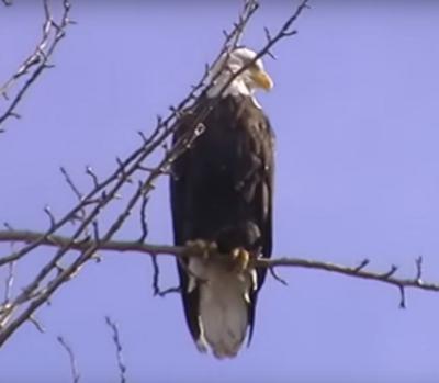 Southern Ontario Bald Eagle