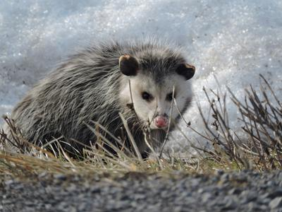 Winter Possum