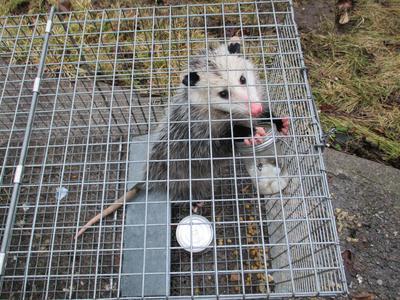 Possum in trap, Lakefield, Ontario