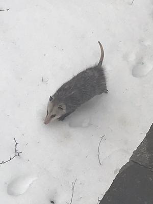 Opossum in Guelph Ontario