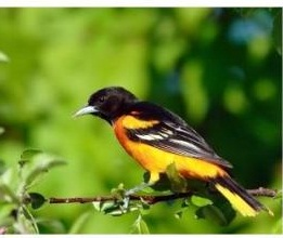 Baltimore Oriole in Ontario