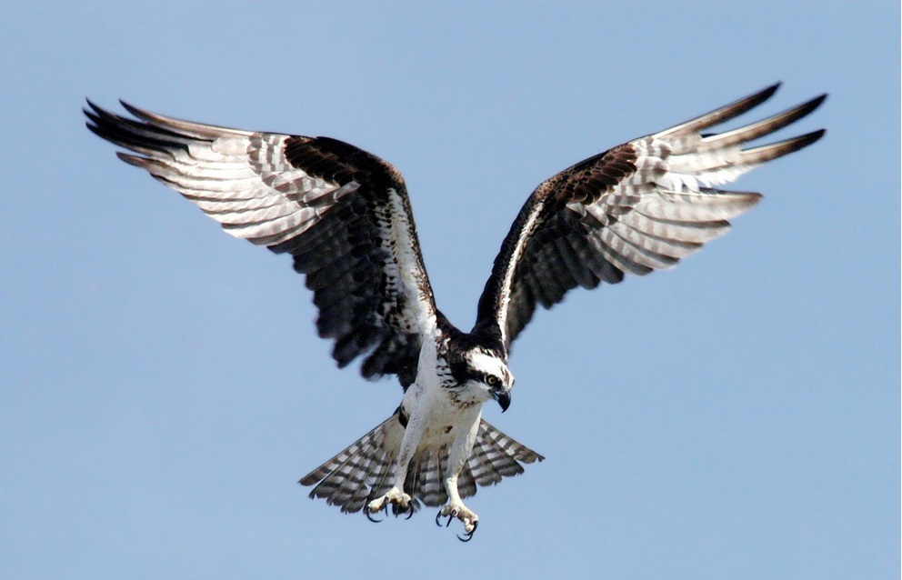 Osprey or Fish Eagle in flight showing black and white plumage