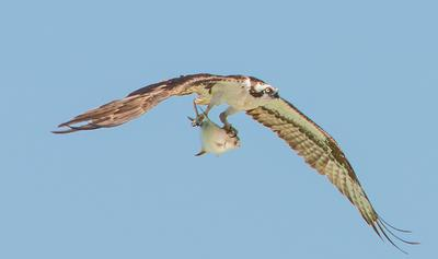 Osprey sighted in Ontario