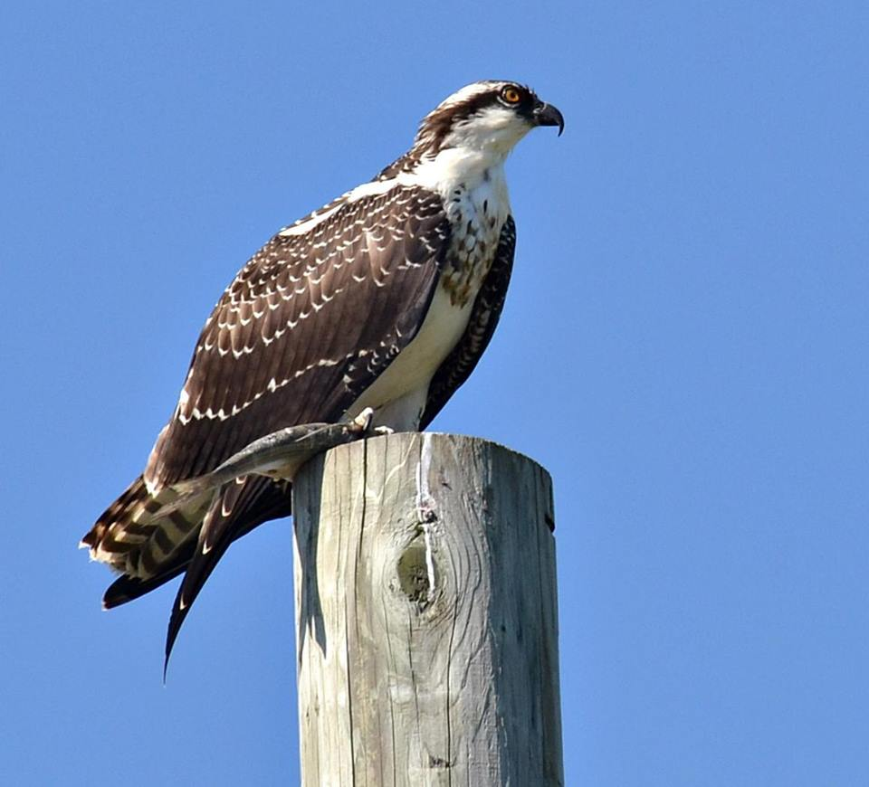 Osprey showing markings and plumage, sitting on a utility pole, found in Ontario, Canada