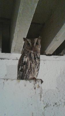 Owl in the barn