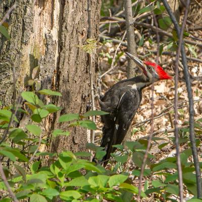 Pileated Woodpecker at Hungry Hollow Ravine