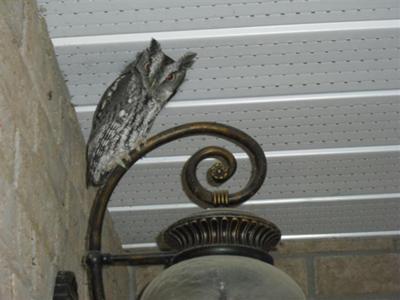 Porch Owl in Bath, Ontario
