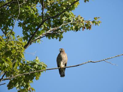 Possible Broad winged Hawk Ontario