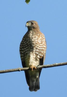Bird of prey on a branch - Broad Winged Hawk
