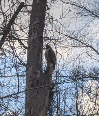 Possible Red Tailed Hawk in Ontario during winter