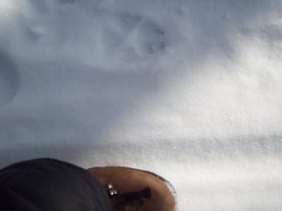 Wolf Track?