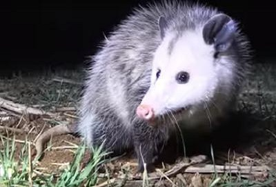 Possums are everywhere in Ontario