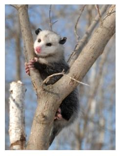 Ontario Possum in a tree, the Virginia Opossum in Ontario