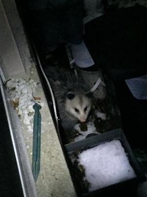 Possum in Aurora
