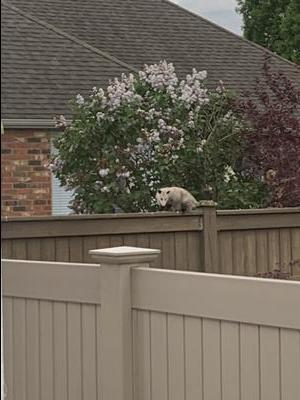 Opossum on the fence in Belle River Ontario