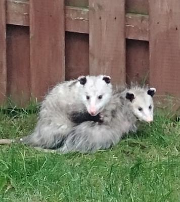 Possums in Upper Unionville area