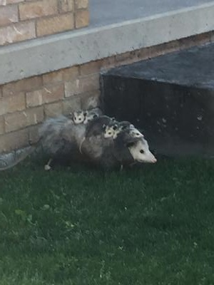 Possum Mother and babies