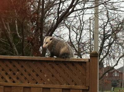 Georgetown Possum